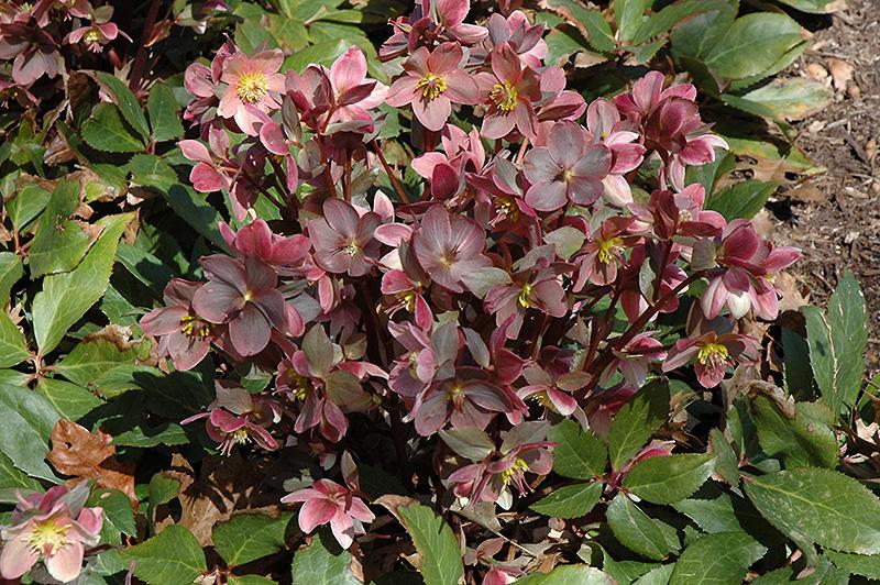 Pink Frost Hellebore (Helleborus 'COSEH 710') at Wolf Hill Home & Garden