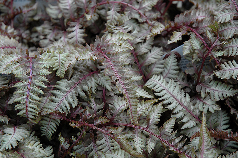 Regal Red Painted Fern (Athyrium nipponicum 'Regal Red') at Wolf Hill Home & Garden