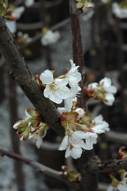 Stella Cherry (Prunus avium 'Stella') at Wolf Hill Home & Garden