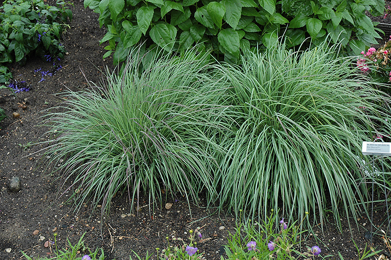 Blue Heaven Bluestem (Schizachyrium scoparium 'Blue Heaven') at Wolf Hill Home & Garden