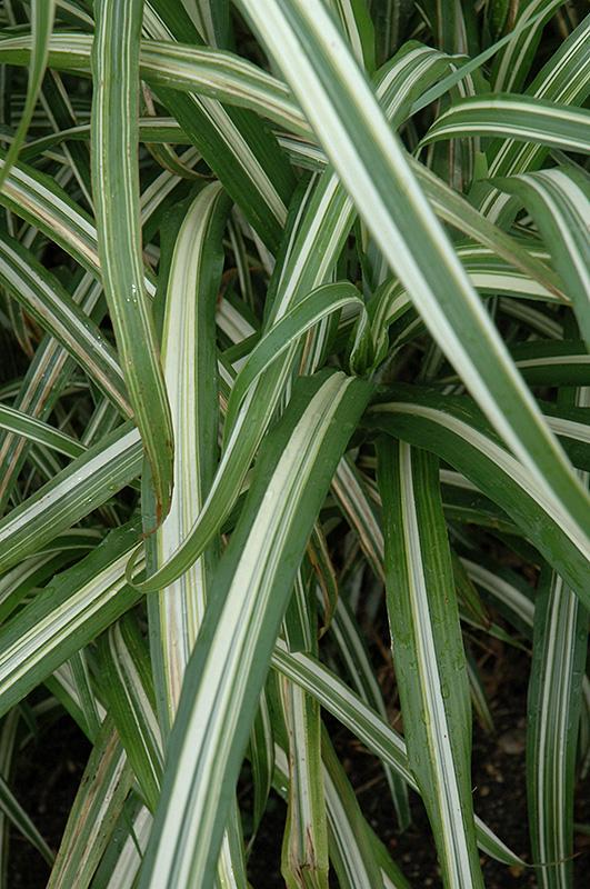 Cabaret Maiden Grass (Miscanthus sinensis 'Cabaret') at Wolf Hill Home & Garden