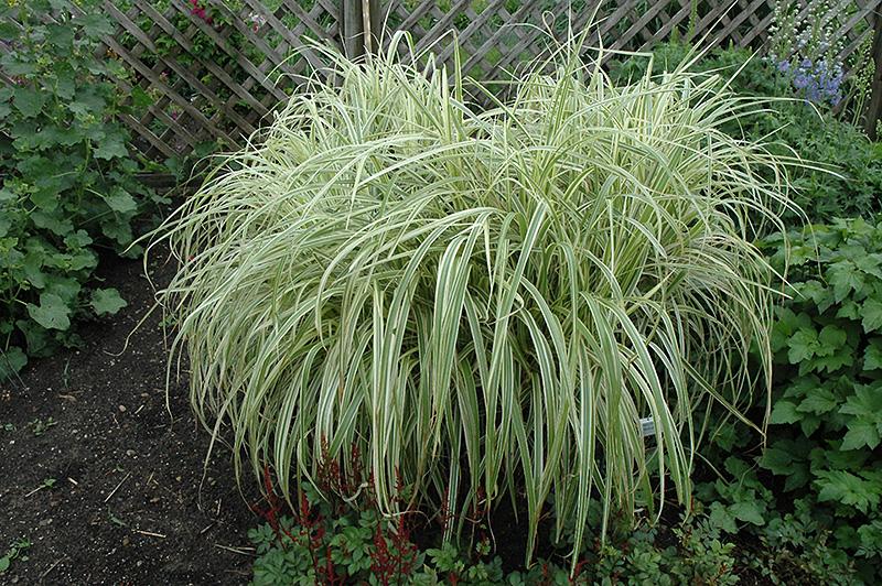 Dixieland Maiden Grass (Miscanthus sinensis 'Dixieland') at Wolf Hill Home & Garden