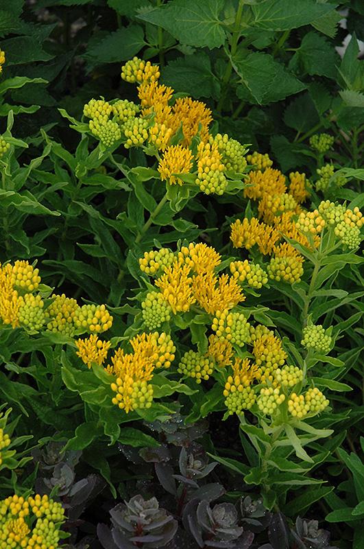 Hello Yellow Milkweed (Asclepias tuberosa 'Hello Yellow') at Wolf Hill Home & Garden