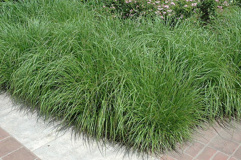 Fountain Grass (Pennisetum alopecuroides) at Wolf Hill Home & Garden