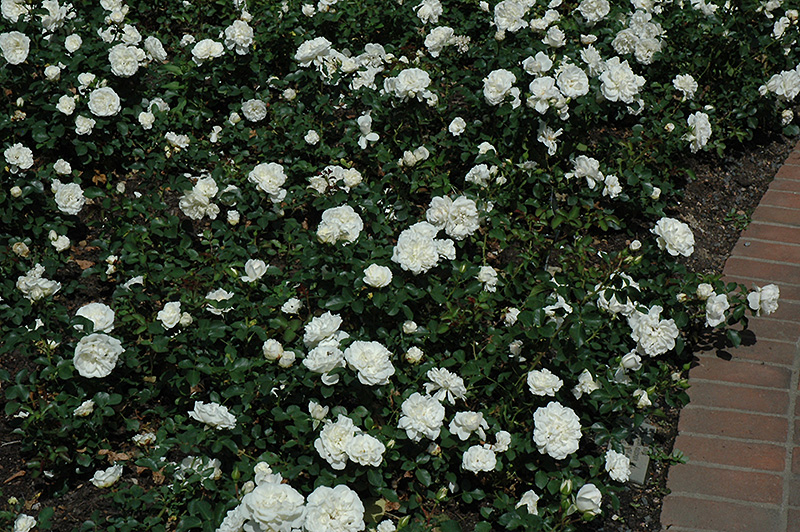 White Meidiland Rose (Rosa 'Meicoublan') at Wolf Hill Home & Garden