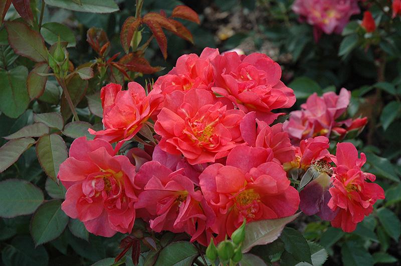Cinco de Mayo Rose (Rosa 'Cinco de Mayo') at Wolf Hill Home & Garden