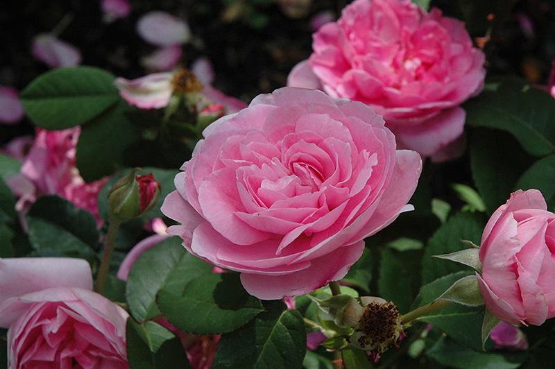 Gertrude Jekyll Rose (Rosa 'Gertrude Jekyll') at Wolf Hill Home & Garden