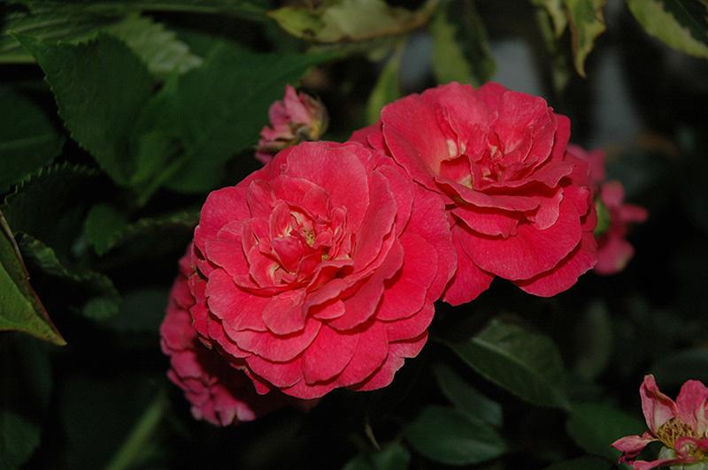 Livin' La Vida Rose (Rosa 'Hornimrod') at Wolf Hill Home & Garden
