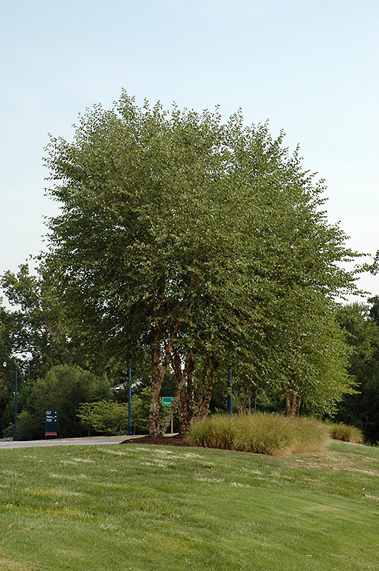 Heritage River Birch (clump) (Betula nigra 'Heritage (clump)') at Wolf Hill Home & Garden