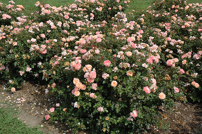 Apricot Drift Rose (Rosa 'Meimirrote') at Wolf Hill Home & Garden