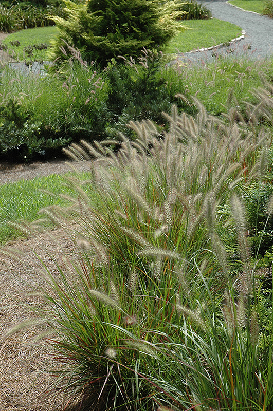 Cassian Dwarf Fountain Grass (Pennisetum alopecuroides 'Cassian') at Wolf Hill Home & Garden