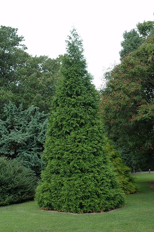 Green Giant Arborvitae (Thuja 'Green Giant') at Wolf Hill Home & Garden