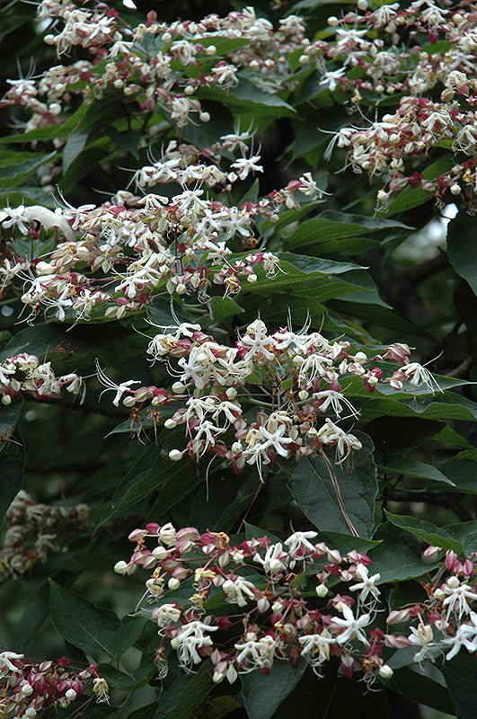 Harlequin Glorybower (Clerodendrum trichotomum) at Wolf Hill Home & Garden