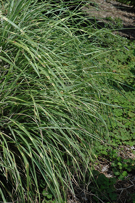 Little Zebra Dwarf Maiden Grass (Miscanthus sinensis 'Little Zebra') at Wolf Hill Home & Garden