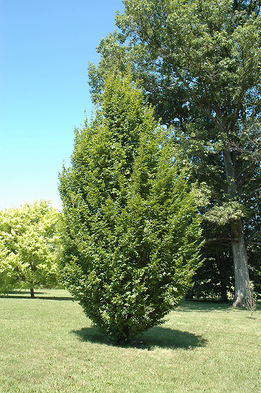 Frans Fontaine Hornbeam (Carpinus betulus 'Frans Fontaine') at Wolf Hill Home & Garden