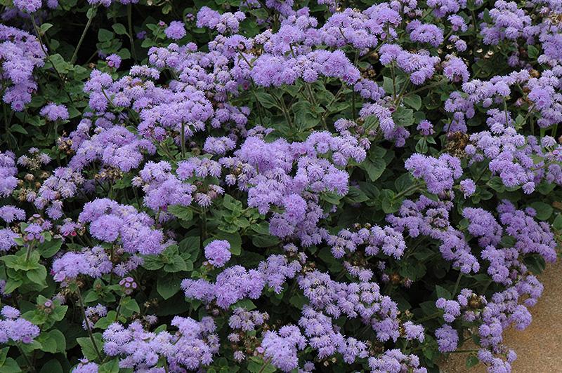 High Tide Blue Flossflower (Ageratum 'High Tide Blue') at Wolf Hill Home & Garden