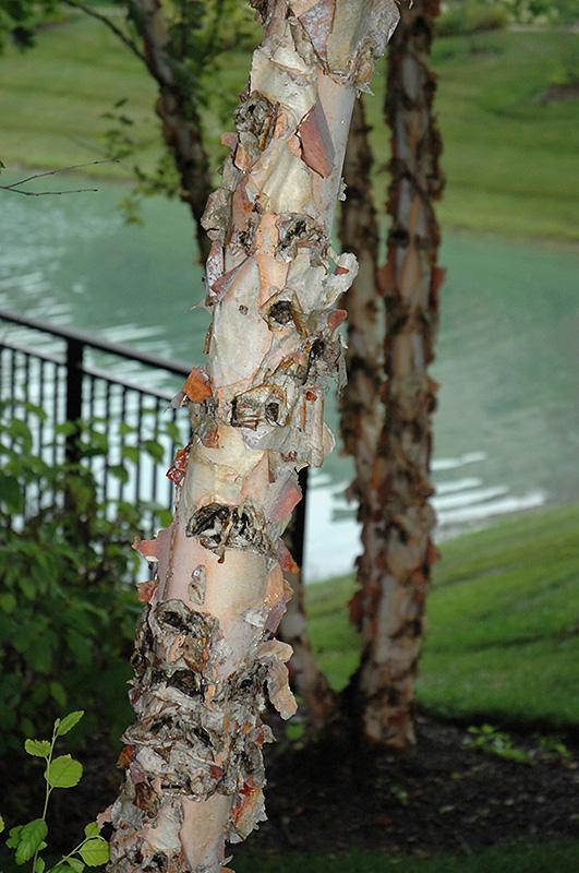 River Birch (Betula nigra) at Wolf Hill Home & Garden