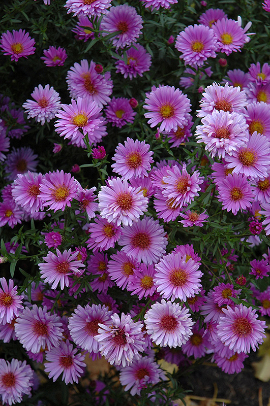 Purple Dome Aster (Aster novae-angliae 'Purple Dome') at Wolf Hill Home & Garden