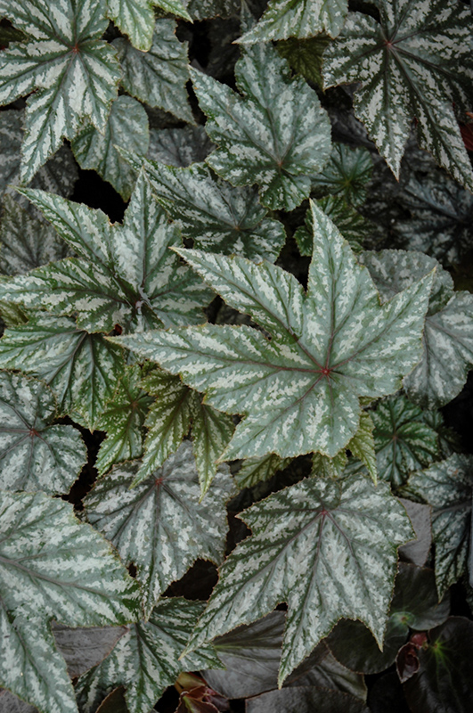 Gryphon Begonia (Begonia 'Gryphon') at Wolf Hill Home & Garden