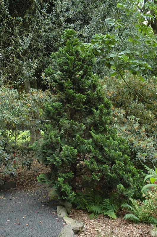 Nana Dwarf Hinoki Falsecypress (Chamaecyparis obtusa 'Nana') at Wolf Hill Home & Garden