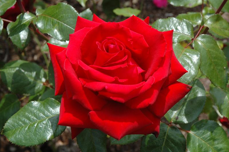 Ingrid Bergman Rose (Rosa 'Ingrid Bergman') at Wolf Hill Home & Garden
