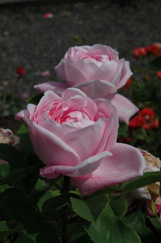 Baroness De Rothschild Rose (Rosa 'Baroness De Rothschild') at Wolf Hill Home & Garden