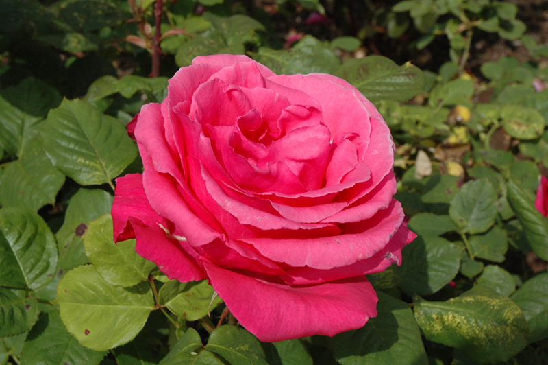 Electron Rose (Rosa 'Electron') at Wolf Hill Home & Garden