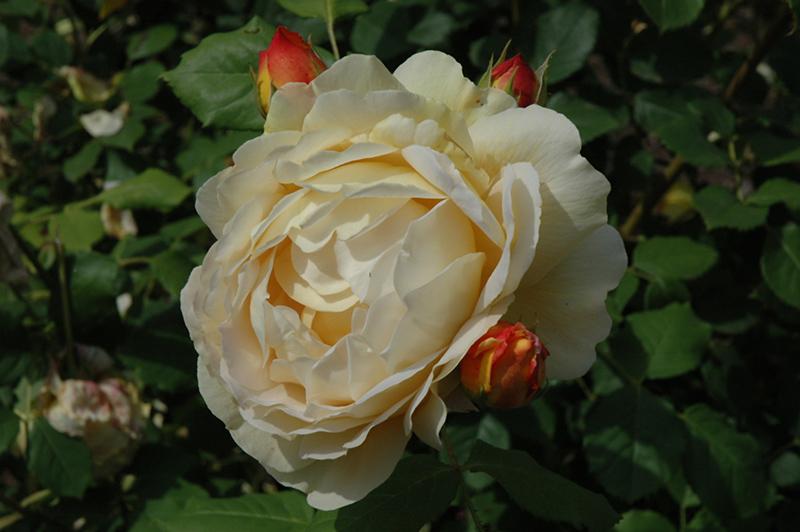 Golden Celebration Rose (Rosa 'Golden Celebration') at Wolf Hill Home & Garden