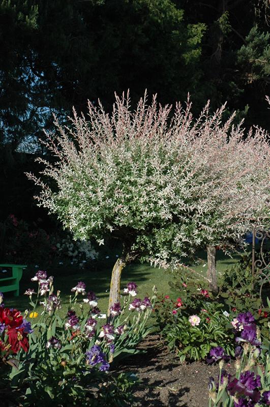 Tricolor Willow (tree form) (Salix integra 'Hakuro Nishiki (tree form)') at Wolf Hill Home & Garden