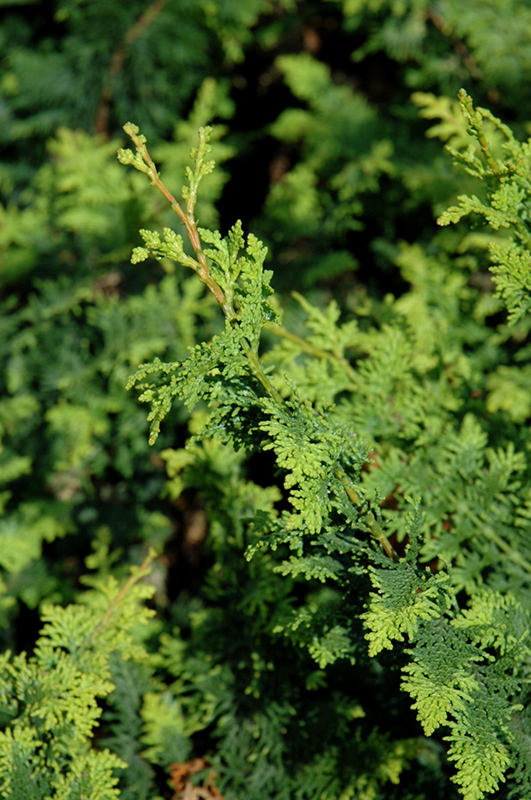 Fernspray Hinoki Falsecypress (Chamaecyparis obtusa 'Filicoides') at Wolf Hill Home & Garden
