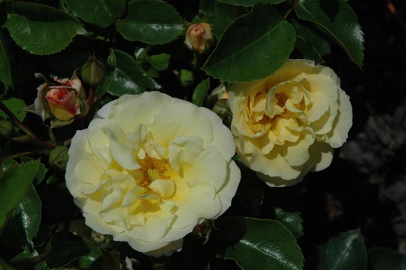 Popcorn Drift Rose (Rosa 'Novarospop') at Wolf Hill Home & Garden