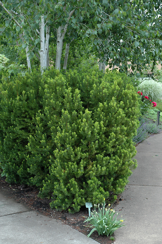 Hicks Yew (Taxus x media 'Hicksii') at Wolf Hill Home & Garden