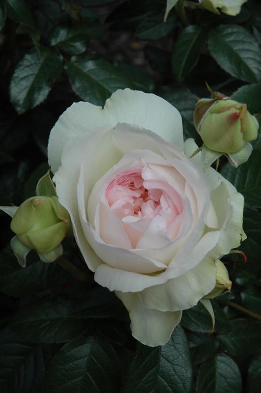 Bolero Rose (Rosa 'Poulbota') at Wolf Hill Home & Garden