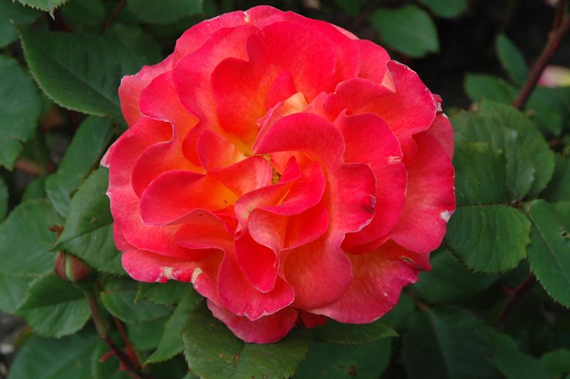 Mardi Gras Rose (Rosa 'Mardi Gras') at Wolf Hill Home & Garden