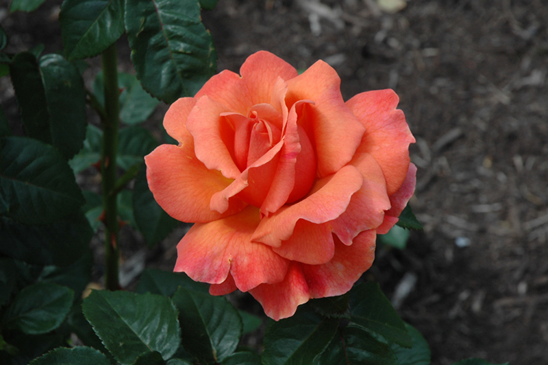 Easy Does It Rose (Rosa 'Easy Does It') at Wolf Hill Home & Garden