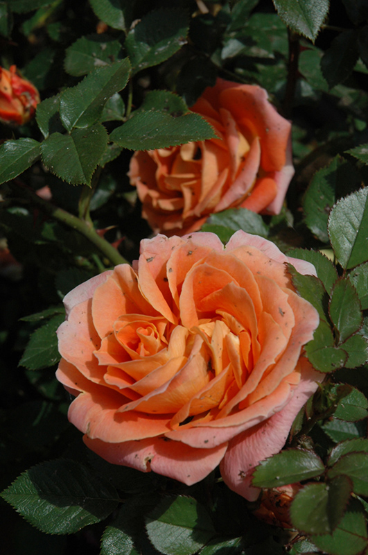 Amber Sunblaze Rose (Rosa 'Meiludoca') at Wolf Hill Home & Garden