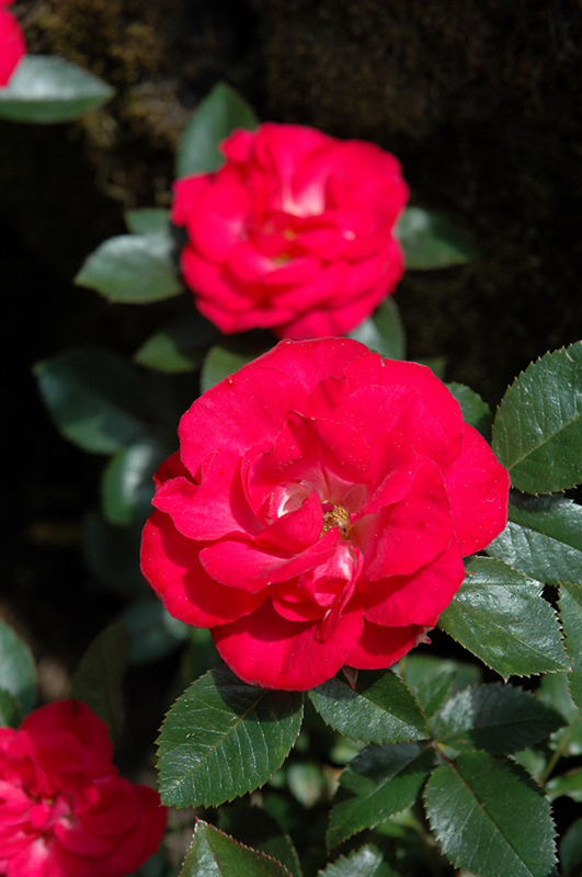 Cherry Sunblaze Rose (Rosa 'Meibekarb') at Wolf Hill Home & Garden
