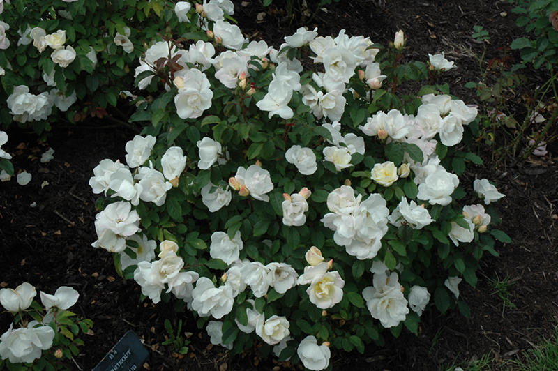 White Knock Out Rose (Rosa 'Radwhite') at Wolf Hill Home & Garden