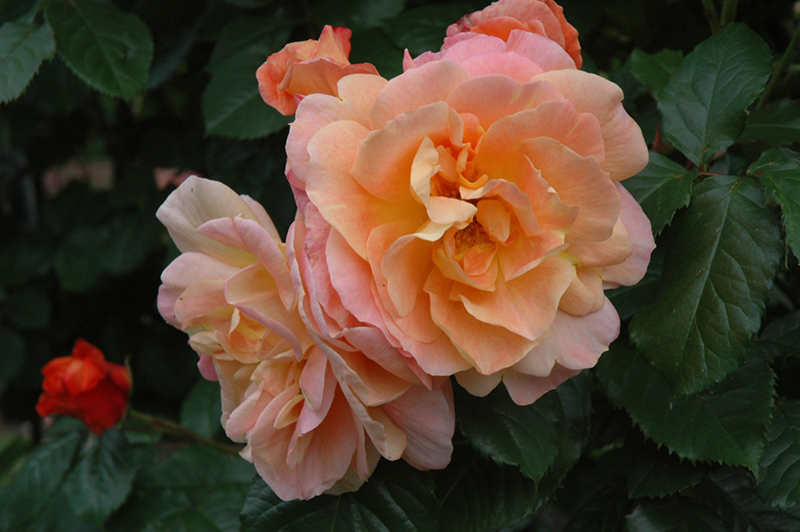 Westerland Rose (Rosa 'Westerland') at Wolf Hill Home & Garden
