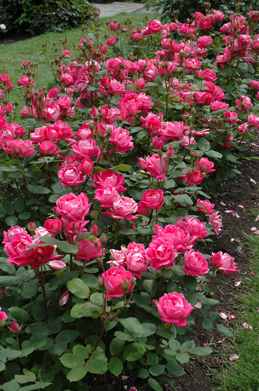 Double Knock Out Rose (Rosa 'Radtko') at Wolf Hill Home & Garden