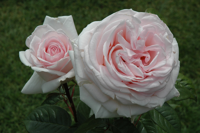 Francis Meilland Rose (Rosa 'Meitroni') at Wolf Hill Home & Garden