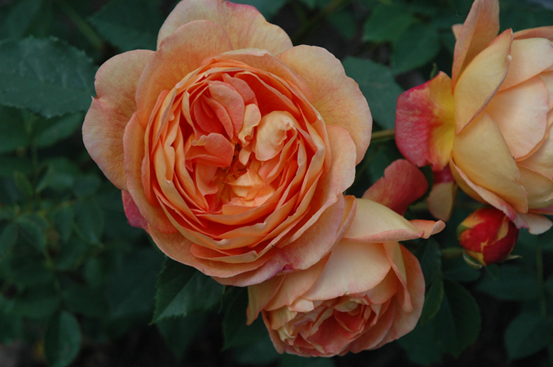 Lady Of Shalott Rose (Rosa 'Ausnyson') at Wolf Hill Home & Garden