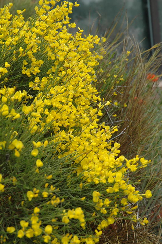 Spanish Broom (Cytisus purgans) at Wolf Hill Home & Garden