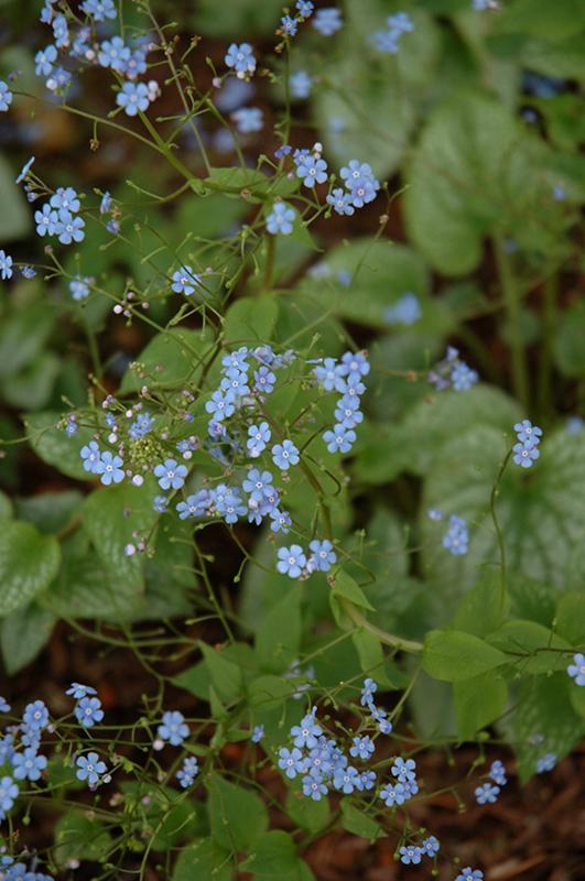 Alexander's Great Bugloss (Brunnera macrophylla 'Alexander's Great') at Wolf Hill Home & Garden