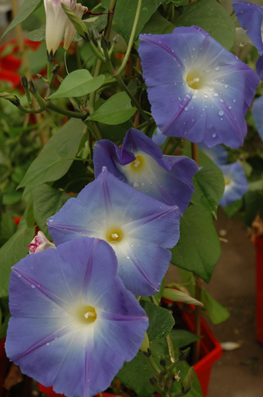 Heavenly Blue Morning Glory (Ipomoea tricolor 'Heavenly Blue') at Wolf Hill Home & Garden