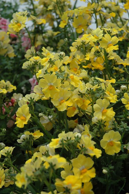 Sunsatia Lemon Nemesia (Nemesia 'Sunsatia Lemon') at Wolf Hill Home & Garden