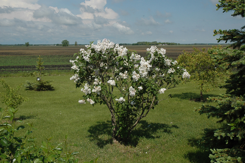 Beauty of Moscow Lilac (Syringa vulgaris 'Beauty of Moscow') at Wolf Hill Home & Garden