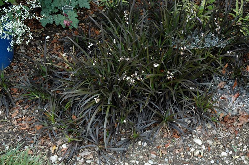 Black Mondo Grass (Ophiopogon planiscapus 'Niger') at Wolf Hill Home & Garden