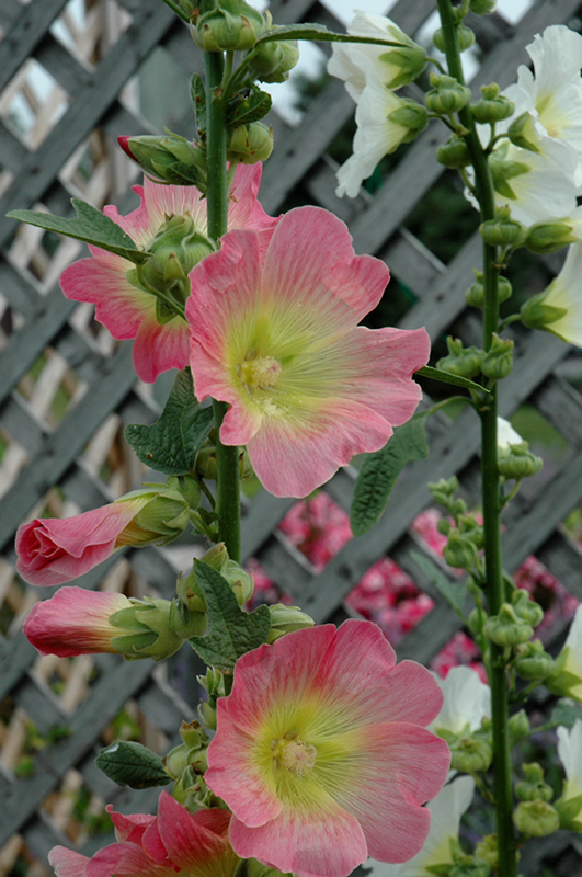 Las Vegas Hollyhock (Alcea 'Las Vegas') at Wolf Hill Home & Garden