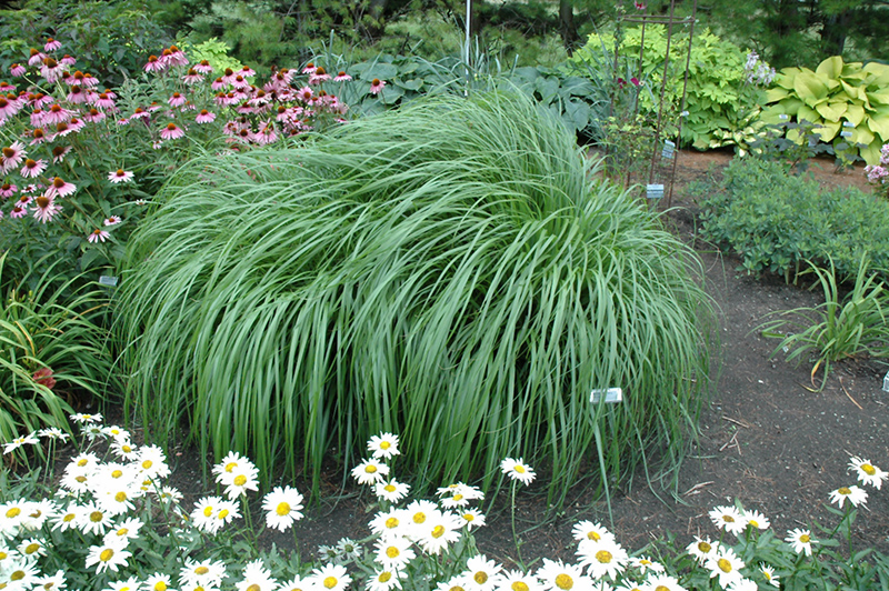 Red Head Fountain Grass (Pennisetum alopecuroides 'Red Head') at Wolf Hill Home & Garden
